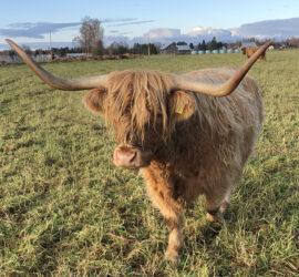 Highland-lehmä Irena